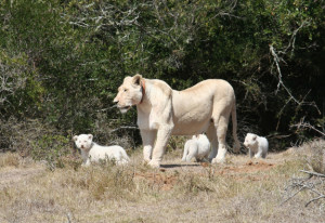 White lions at Pumba